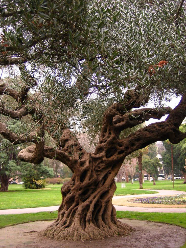 Wow... this Old Olive Tree is stunning!