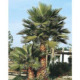 Mexican Fan Palm (L3048) Nursery