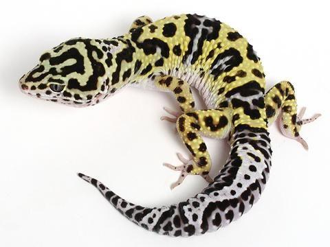 Halloween Mask Leopard Gecko.Bold Black White Halloween Mask X Tug Snow Leopard Gecko