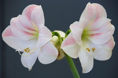 Amaryllis Flower Pictures - Silk, Red & White Amaryllis Flowers ...
