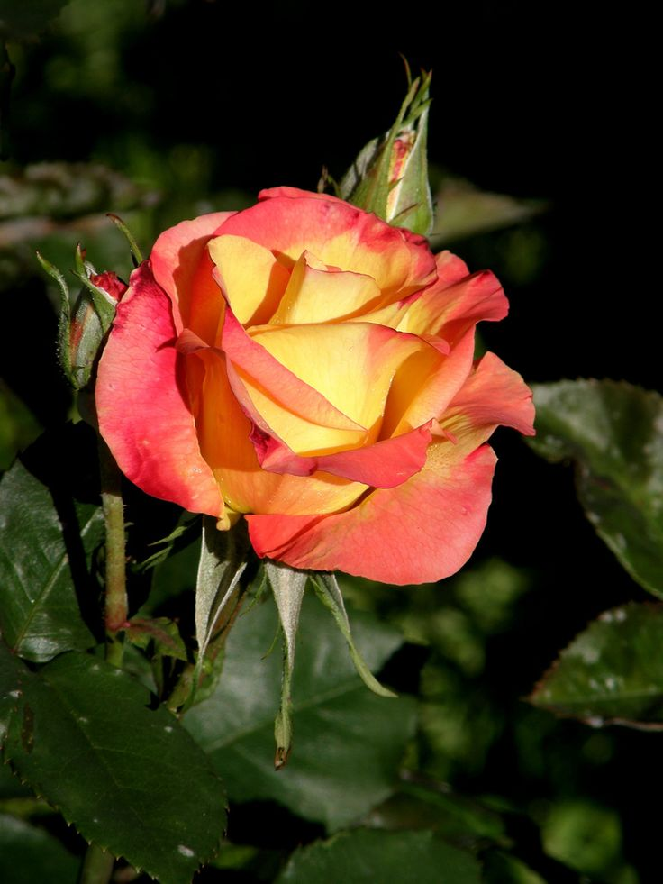 Best 10 rose meilland ideas on pinterest meilland for Rose meilland