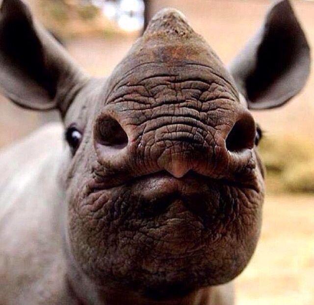 "Baby rhino ""smooches""                                                                                                                                                                                 More"