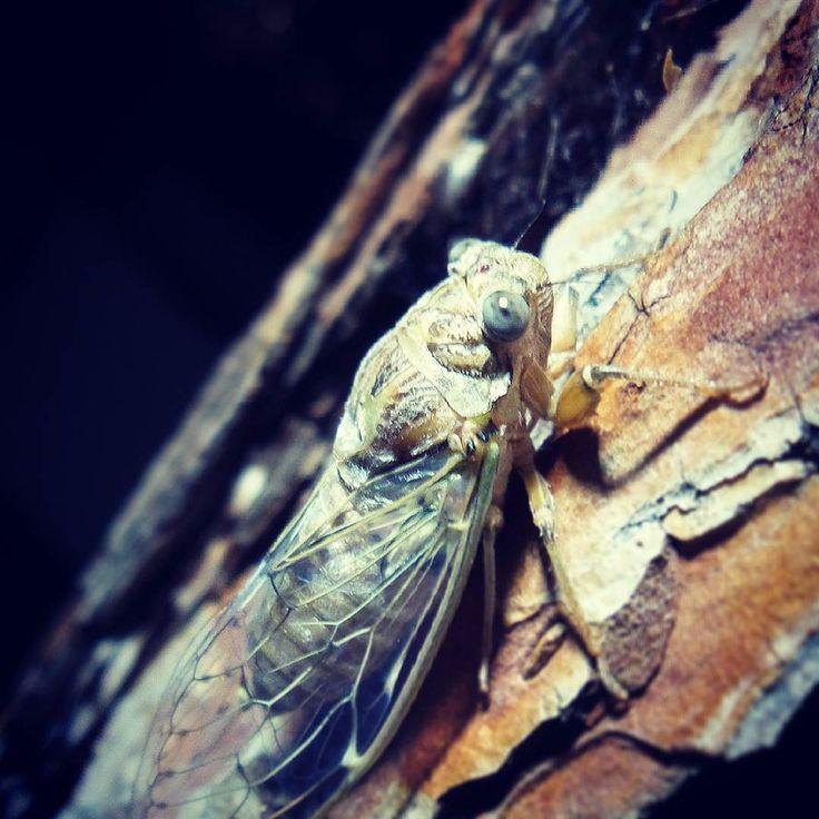 A Cicada <3 TzitIki <3 #cicada #macro