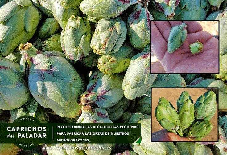 Caprichos del Paladar está recolectando en nuestros cultivos propios las alcachofitas pequeñitas para realizar las orzas de nuestros microcorazones que tanto gustan.