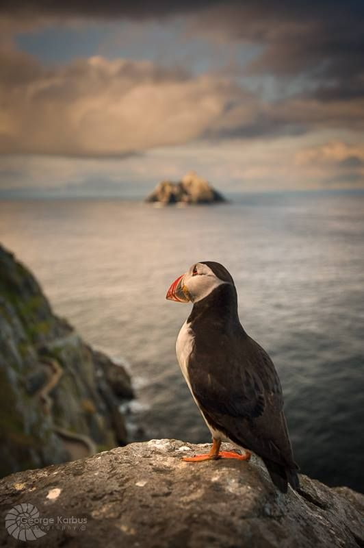 Puffin on Skellig Michael, Ireland