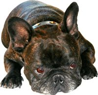 Louis, French Bulldog Extraordinare