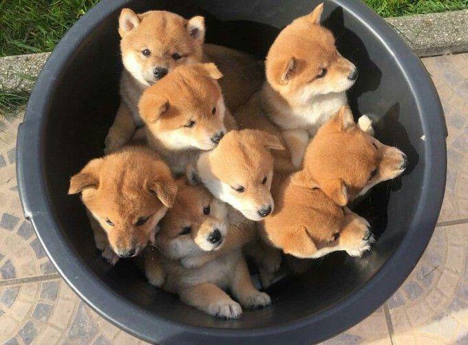Bucket of Shiba Inu puppies