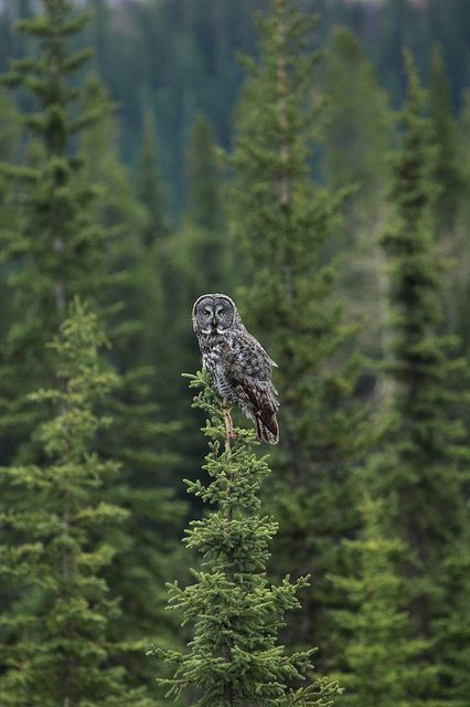 Great Grey Owl ~ wormwould @ flickr