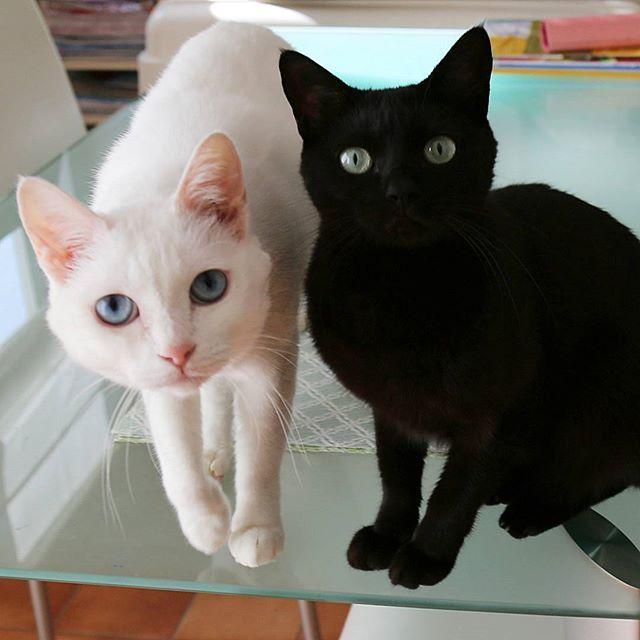 * 2016.11.28 . 『薬の時間、まだー?✨』 .. . モコには関係ない薬の時間なんだけど💦  にゃんたの膀胱炎の薬、やっと残り20日😅 長いわっ😂 でも『焼きかつお』で喜んで食べてるから、いいか~😅 . .  #ニャイドル祭 #にゃんファーday #猫 #白猫 #黒猫 #しろねこ部 #しろねこ #くろねこ #黒猫同盟 #一眼レフ #キャノン #canon #cannon #SLR #blackcat #whitecat #blackandwhitecat #bestmeow #excellent_cats #everysundaycats #チーム夜這い #ペコねこ部 #bestcats_oftheworld #catsofinstagram #ilovemycat #meow #catlover #catoftheday #neko #フロリダのたまちゃん応援隊
