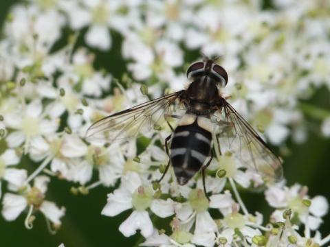 Hoverfly: Leucozona laternaria | Nature Notes from Dorset