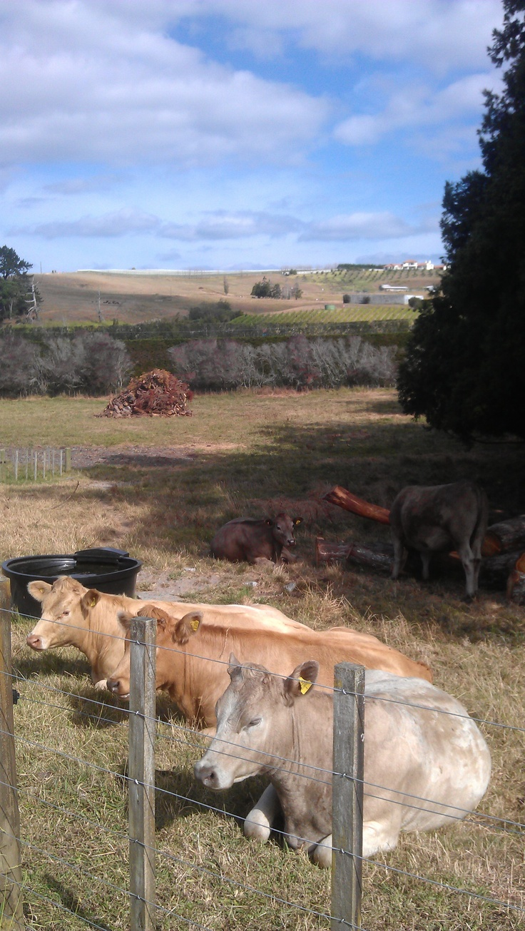 """BOVINE SPECTATORS - As a cow's life goes, this doesn't look too bad. Much like the chooks, the cows couldnt be bothered by the Fruitloopers walking by. Not even a """"moooooove on"""" from them. More about Matakana scenic views here...  http://www.matakanacountry.co.nz/markets-lodging-accommodations-auckland-coast-wine-country-hotels/the-best-of-matakana-things-to-do-in-matakana-nz-auckland-wine-region-area-attractions/ #matakana #newzealand #travel #scenic"""