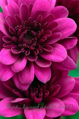 274:365:2013 - Chrysanthemums