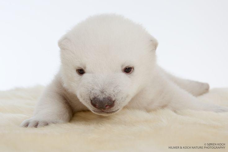 Ice video, Polar bears and Baby polar bears on Pinterest