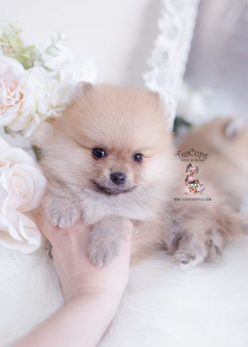 Pomeranian Puppy For Sale Teacup Puppies 272 Teacuppomeranianpuppy Pomeranian Puppy For Sale Teacup Puppies 272 C Teacup Pomeranian Puppy Welpen Kleine Hunde