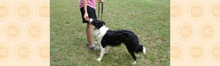You have probably taught your dog to sit and down on a verbal cue, but you should also teach your dog to stand on command. Having your dog hold a stand can be helpful for many purposes.
