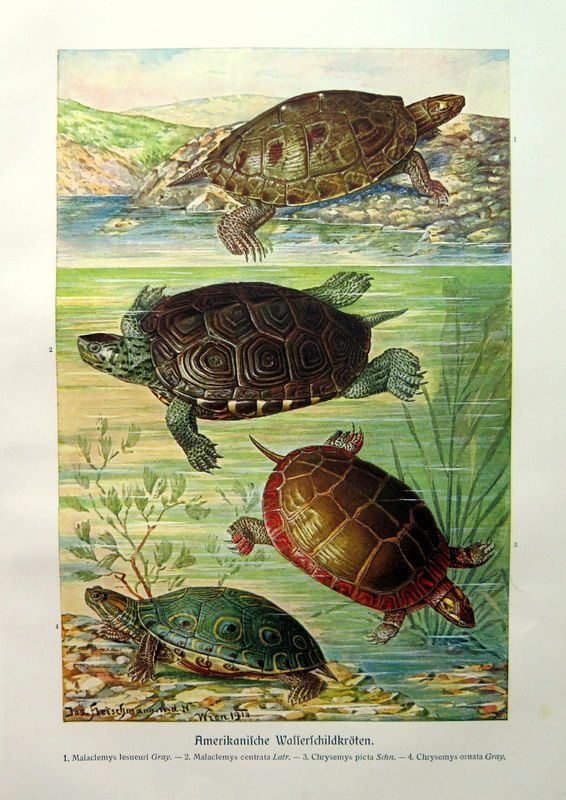 1920 Antique oddity american TURTLES  color lithograph, vintage  TORTOISES reptiles print, sea turtle reptile engraving plate zoology.