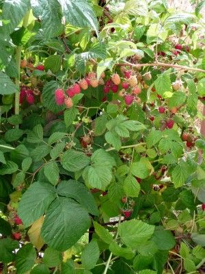 Pruning Raspberry Bushes: How And When To Trim Raspberry Bushes