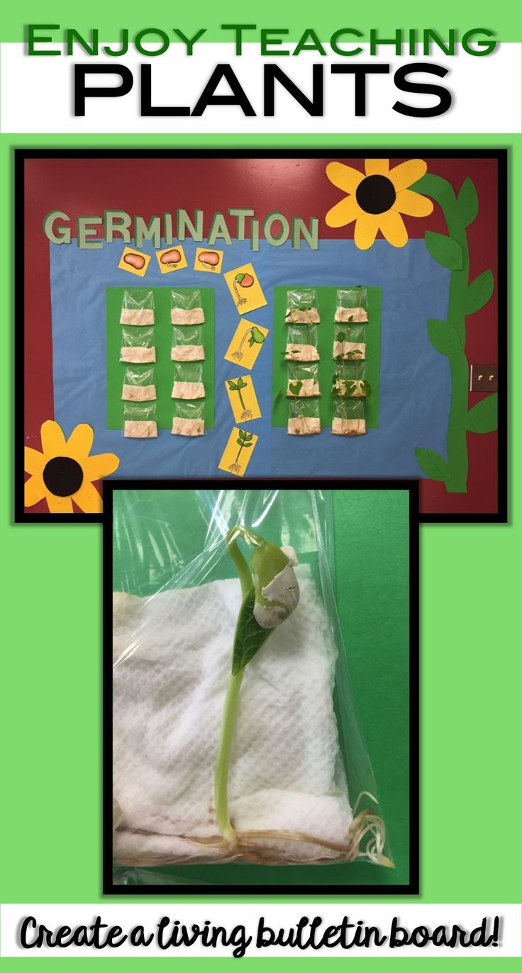 Create a living bulletin board in your classroom! Kids will love watching bean seeds grow right before their eyes. Visit enjoy-teaching.com for this idea and many more to make your plant unit fun.