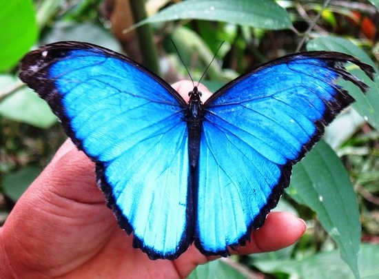 Blue morpho butterfly tattoo - photo#11