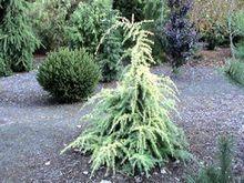 Cedrus deodara ' Gold Cascade ' Dwarf Golden Himalayan Cedar