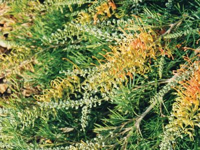 Grevillea Autumn Waterfall native ground cover either at the back or front of house. good for birds
