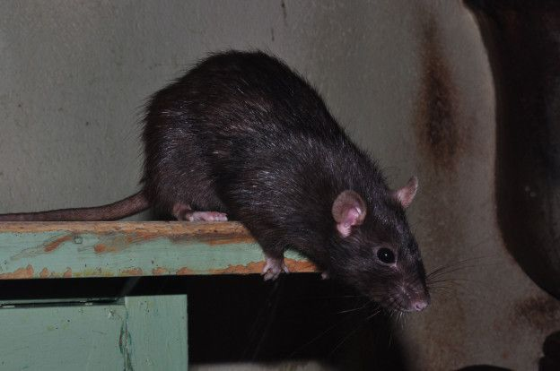 Black rat (Rattus rattus). Slightly smaller and more slender than the brown rat (Rattus norvegicus), it also has a longer tail, a pointier nose and larger ears. It was spread around the world by Europeans, but has now largely been replaced (at least in colder and more urban areas) by the heavier, more aggressive brown rat who also tends to have more babies. Brown rats are also burrowing animals while black rats are arboreal. They are still considered of least concern in the wild.