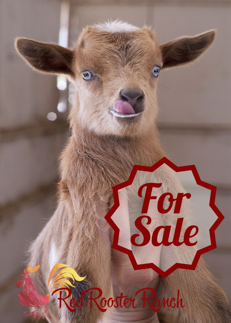 Registered Nigerian Dwarf dairy goats for sale and super
