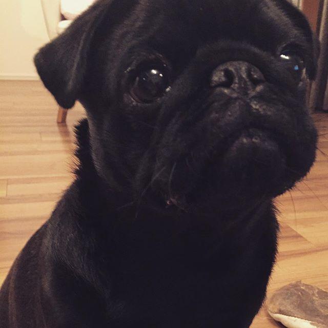 【pug.sakurako】さんのInstagramをピンしています。 《#pug#パグ#sakura#sakurako#dog#犬#桜#櫻子#黒パグ#blackpug #見つめる#お利口さん#この目に弱い 何よ∑(゚Д゚)その目は・・・》