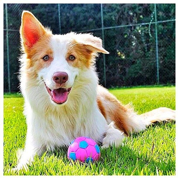Adorable Red Australian Border Collie named Kira!  Congrats to @boltkira & thanks for posting!