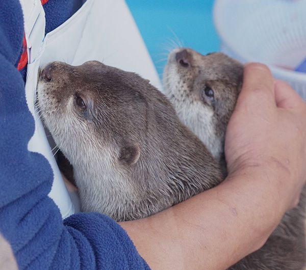 Otters come in for a little cuddle from human - March 13, 2017