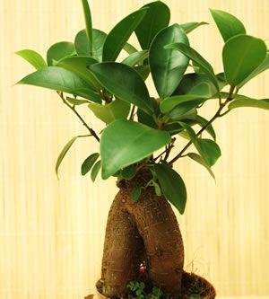 Die besten 25+ Ficus ginseng bonsai Ideen auf Pinterest | Bonsai ...