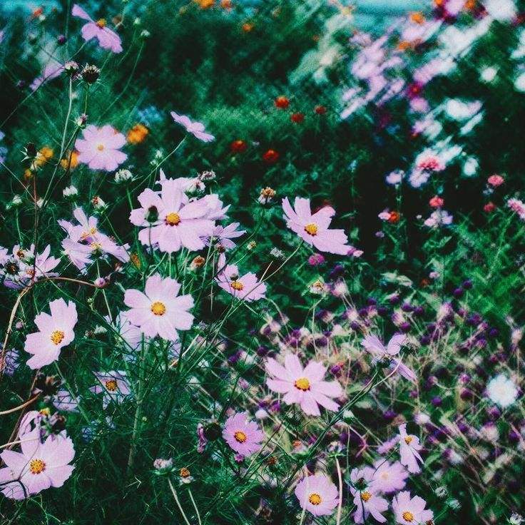 . Lomography Daguerreotype Achromat 2.9/64 Art Lens . . #DaguerreotypeAchromat #flowerstagram #Lomography #vsco #コスモス #ロモグラフィー #sonyalpha #sonyworldclub #sonyimages #sonya7rii #pics_jp #reco_ig #team_jp_ #instagram  #HUEART_life #tokyocameraclub #themoodoflife #ifyouleave #phos_japan #art_of_japan_ #flowers #japan_of_insta #resourcemag #sombrebeings #indy_photolife #indies_gram #odldmag #広がり同盟 #kuragaridoumei #tv_flowers