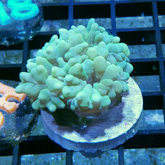 Green Pearl Bubble Coral Frag - Physogyra sp.  | Bubble Corals get their name from the daytime expansion of their tissue. Also called Cat's Eye or Grape Coral, these corals can have a variety of blue and pearl colorations as well as more rare green varieties.
