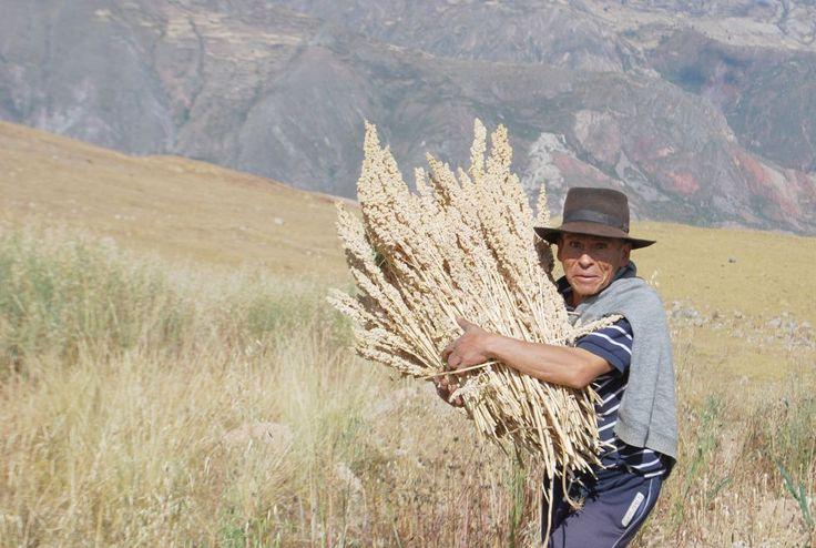 La quinua, ese extraordinario grano andino, avanza en las mesas y en los mercados mundiales