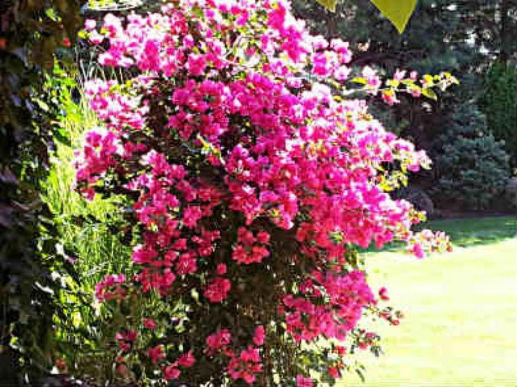 Bogenvilea (Bougainvillea ) – pestovanie a starostlivosť - Vaše rady a tipy - Ako sa to robí.sk