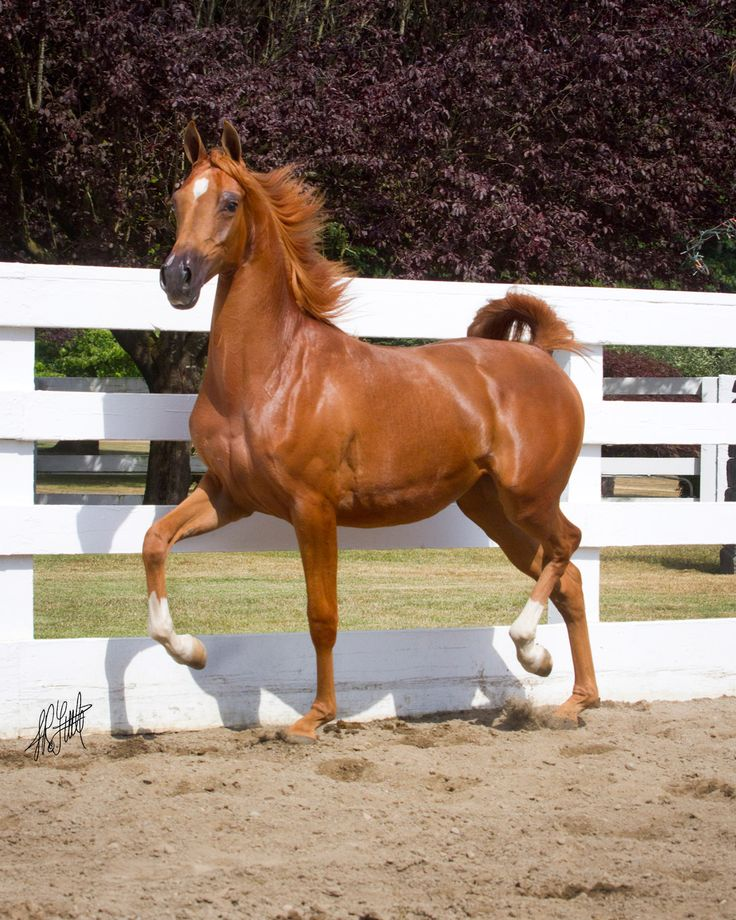Arabian Horses For Sale Ad Horse Uk Horses For Sale - HD 1200×1500