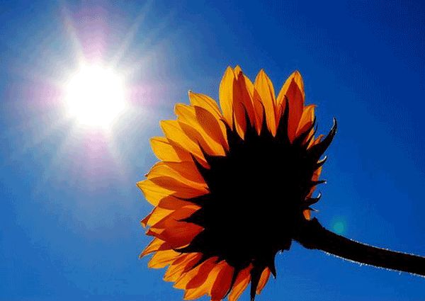 Radiant energy is converted to chemical energy by this flower.