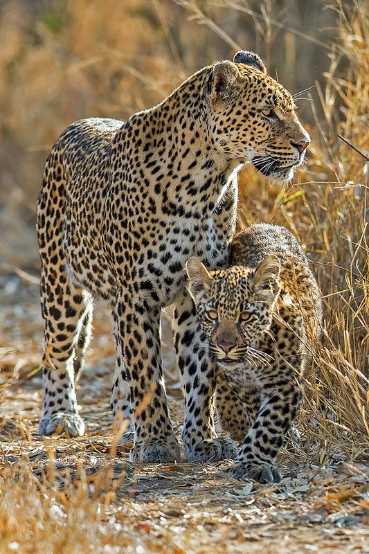 Leopard with Cub, Mala Mala Game Reserve, South Africa