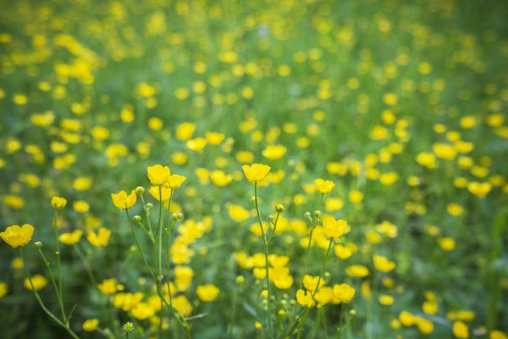 Foto del Giorno: Campo di #Ranuncoli. L'#agricoltura che ci piace!