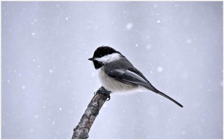 Great Tit Winter Bird Wallpaper | great tit winter bird wallpaper 1080p, great tit winter bird wallpaper desktop, great tit winter bird wallpaper hd, great tit winter bird wallpaper iphone