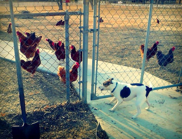 Hazard was fascinated the first time he encountered chickens!