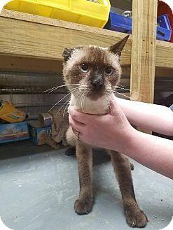 URGENT!! HIGH KILL SHELTER!! 2/3/17 * Shelbyville, TN - Siamese. Meet Nancy, a cat for adoption. http://www.adoptapet.com/pet/16662002-shelbyville-tennessee-cat