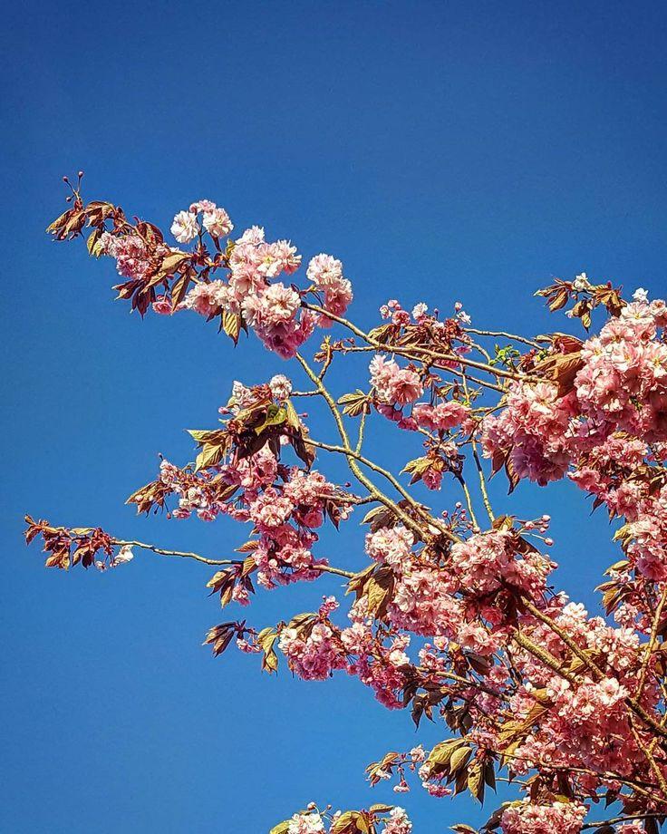 Super lækkert vejr kl 6 om morgen... en sjældenhed vis man bor i Danmark #flowers #flower #petal #petals #nature #beautiful #love #pretty #plants #blossom #sopretty #spring #summer #flowerstagram #flowersofinstagram #flowerstyles_gf #flowerslovers #flowerporn #botanical #floral #florals #insta_pick_blossom #flowermagic #instablooms #bloom #blooms #botanical #floweroftheday http://gelinshop.com/ipost/1517378139310096512/?code=BUOz2DXhYCA