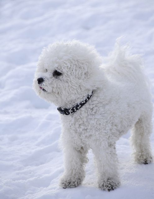 Cute Puppy Bichon Frise - For the most recommended dog grooming go to PetGroomingNearMe.com right now...