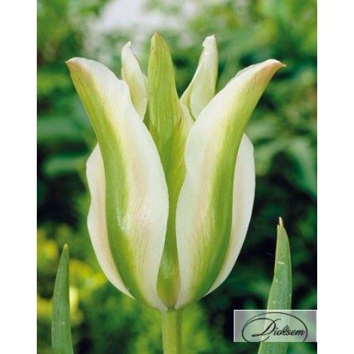 Bulbi lalele  White Spring Green  12182