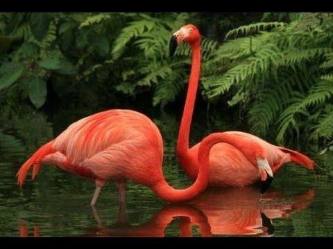 Розовый Фламинго - прекрасный взлет. Игра с Восточным венценосным журавлем.