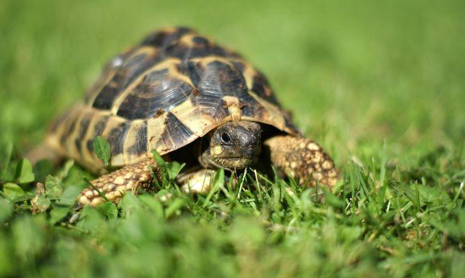 Características y cuidados de las tortugas terrestres. Aprende más sobre uno de los reptiles milenarios más antiguos del planeta.