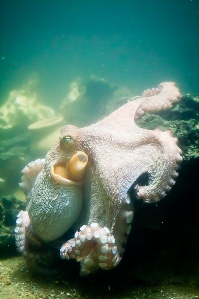 .: Tattoo'S Idea, Sea Life, Sea Creatures, White Octopuses, Octopi, Beauty Creatures, Underwater World, Ocean Life, Animal
