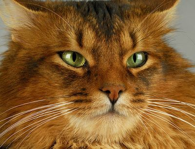 Somali cat: Somali Cat, Toys, Cat Big, Cat Cat, Chat Somali, Cat Breeds