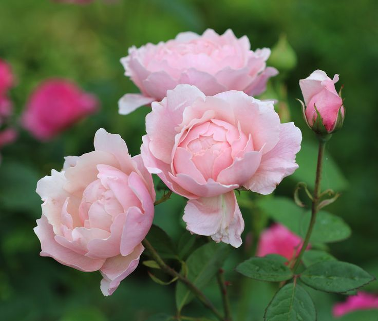 'The Alnwick Rose' | Shrub. English Rose Collection. David C. H. Austin, 2001 | Flickr - © Carmen Zanga